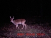3-beam-no-nut-buck-velvet-year-round-buck-weird-buck-shoot-him-when-you-see-him-buck_1