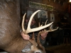 KNOBBY_is_dead_Impressive_12_point_buck_Late_season_at_that