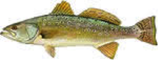 speckledtrout