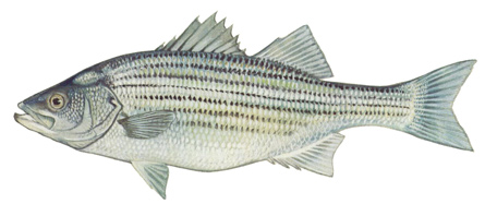 striped_bass_sm